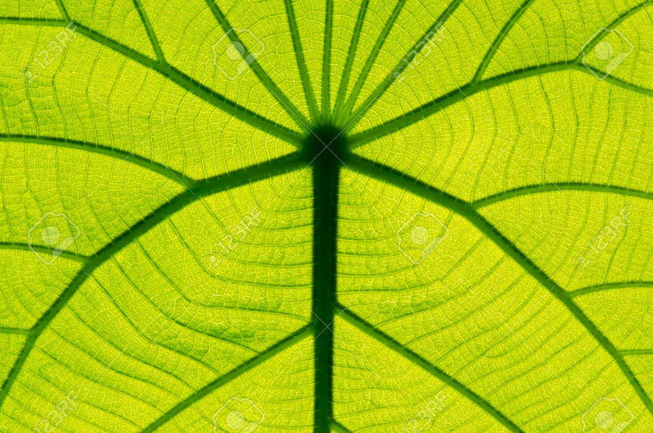 green leaf texture as background Stock Photo - 12947452