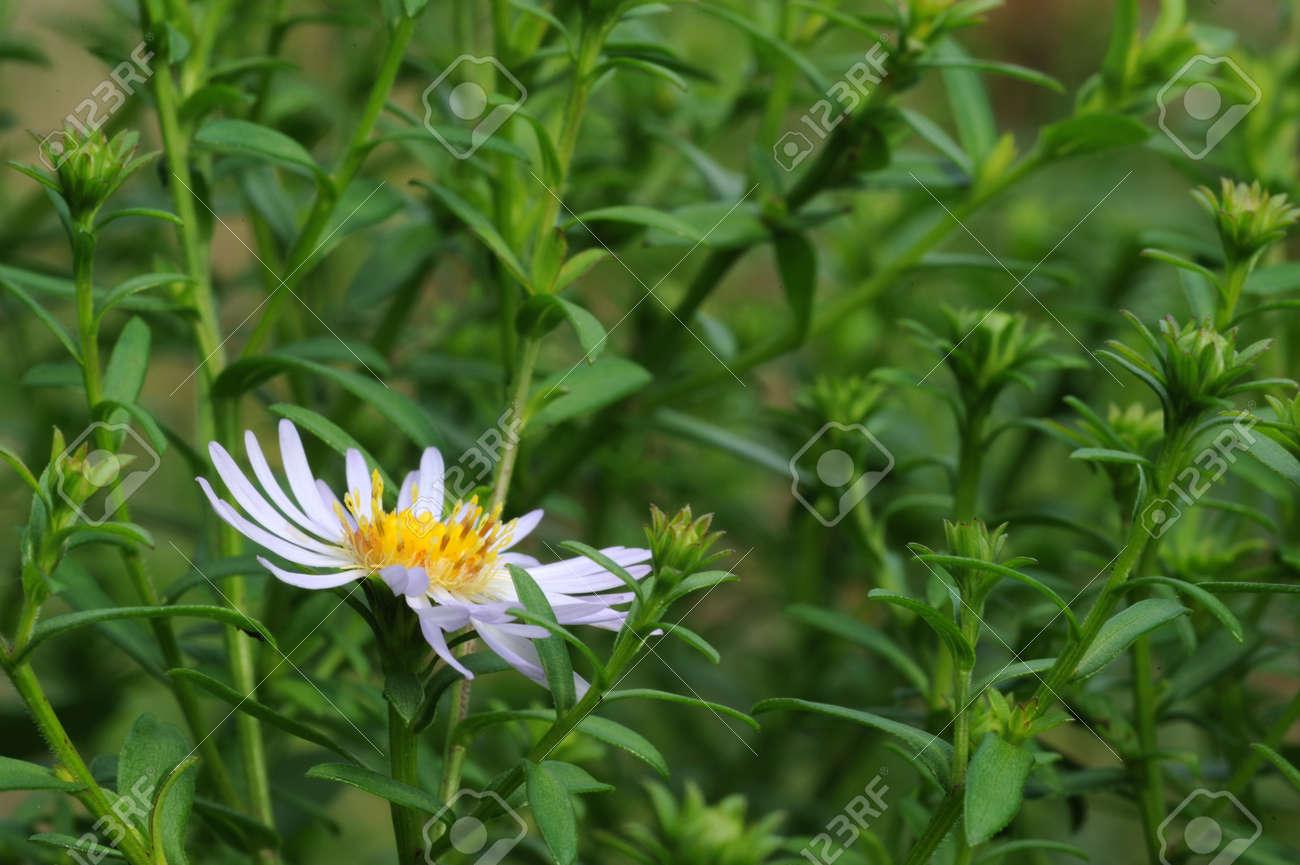 Light Blue Daisy Flower Blooming In Late September Stock Photo