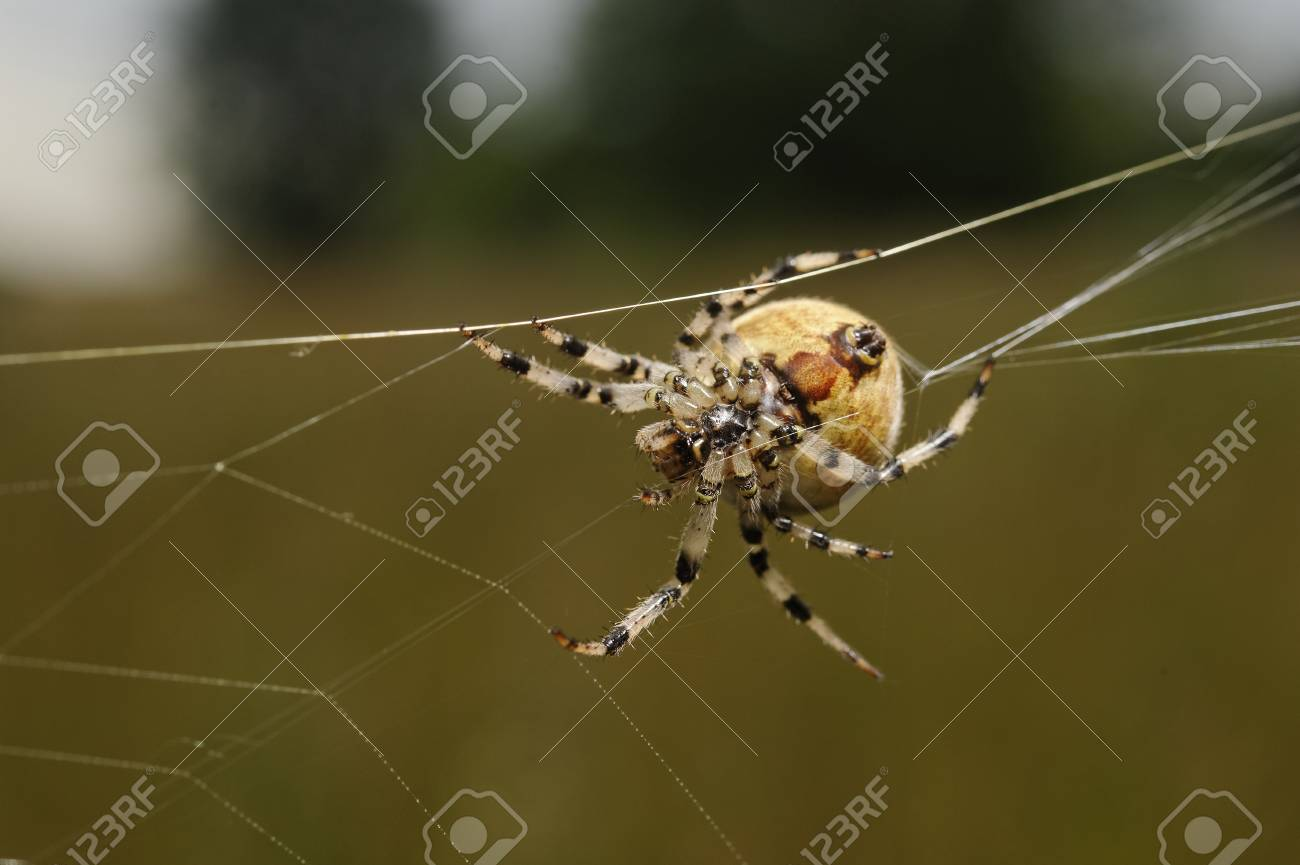 European Garden Spider Araneus Diadematus Stock Photo, Picture And ...