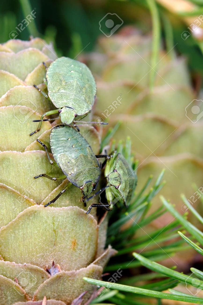 Common Green Shieldbug  Palomela prasina  on larch strobilus Stock Photo - 15164907