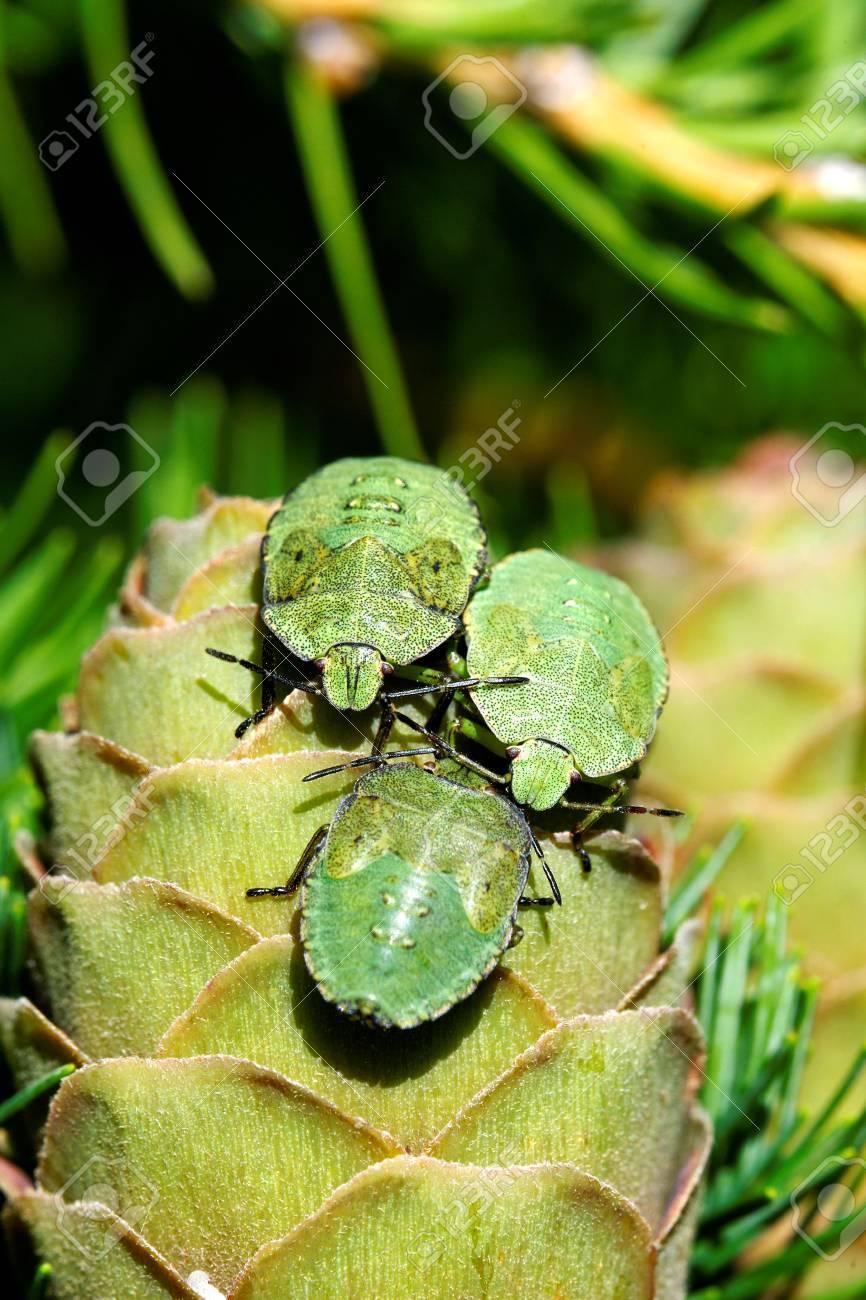 Common Green Shieldbug  Palomela prasina  on larch strobilus Stock Photo - 15164921