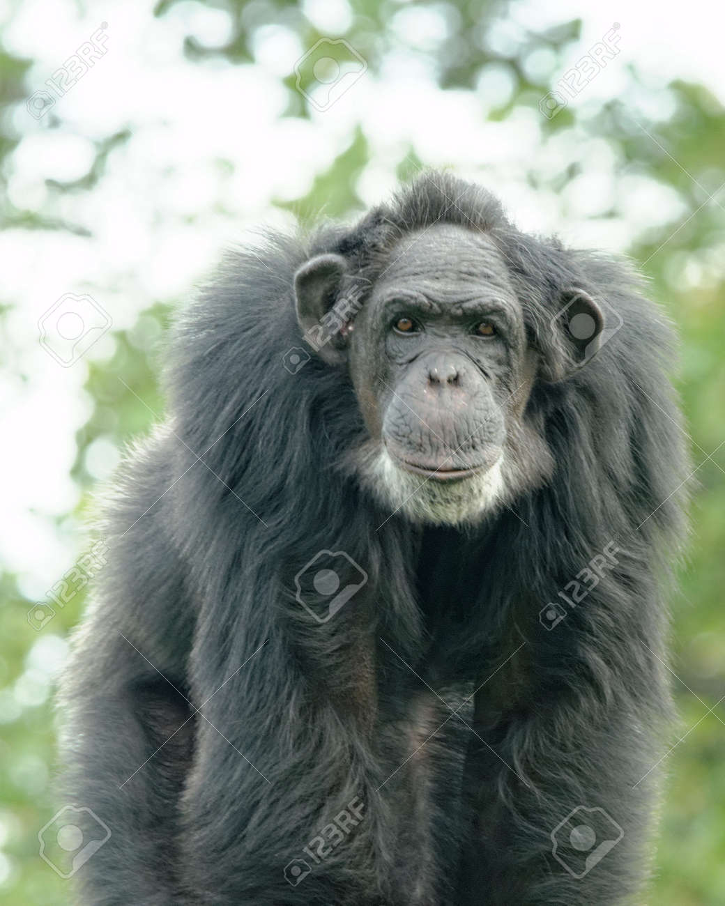 Common chimpanzee (Pan troglodytes), also known as the robust