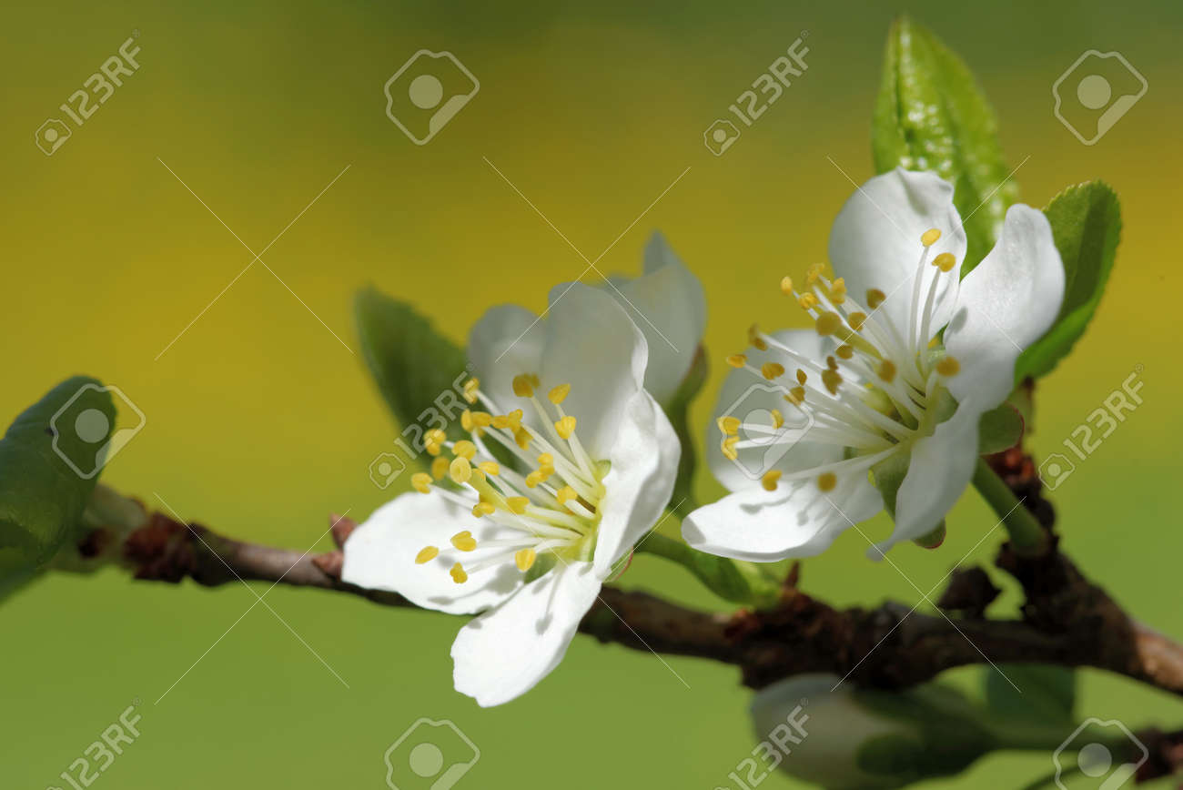 Plum Is A Fruit Of The Subgenus Prunus Of The Genus Prunus Flowers