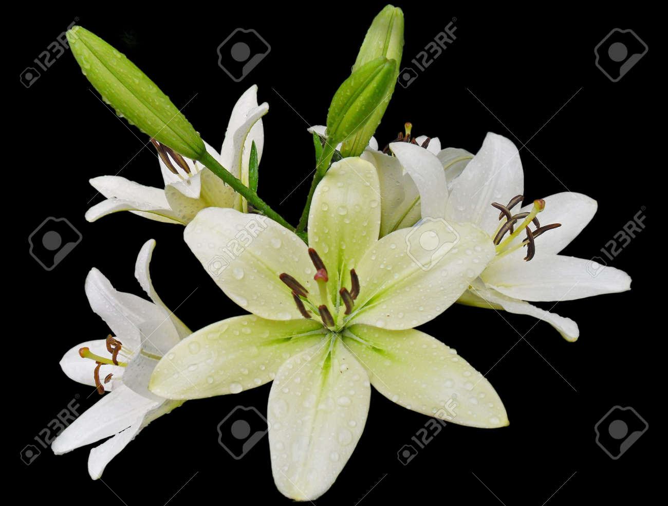 The branch of lilies with white flowers and closed buds with stock stock photo the branch of lilies with white flowers and closed buds with rain drops close up isolate on black background izmirmasajfo