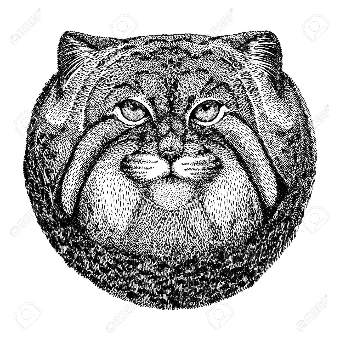 Wild cat. Manul. Wild animal for tattoo, nursery poster, children tee, clothing, posters, emblem, badge, patch - 143187262