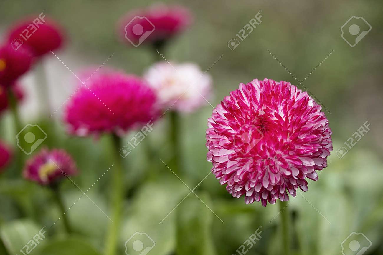Pink English Daisies Bellis Perennis Spring Flowers Stock Photo
