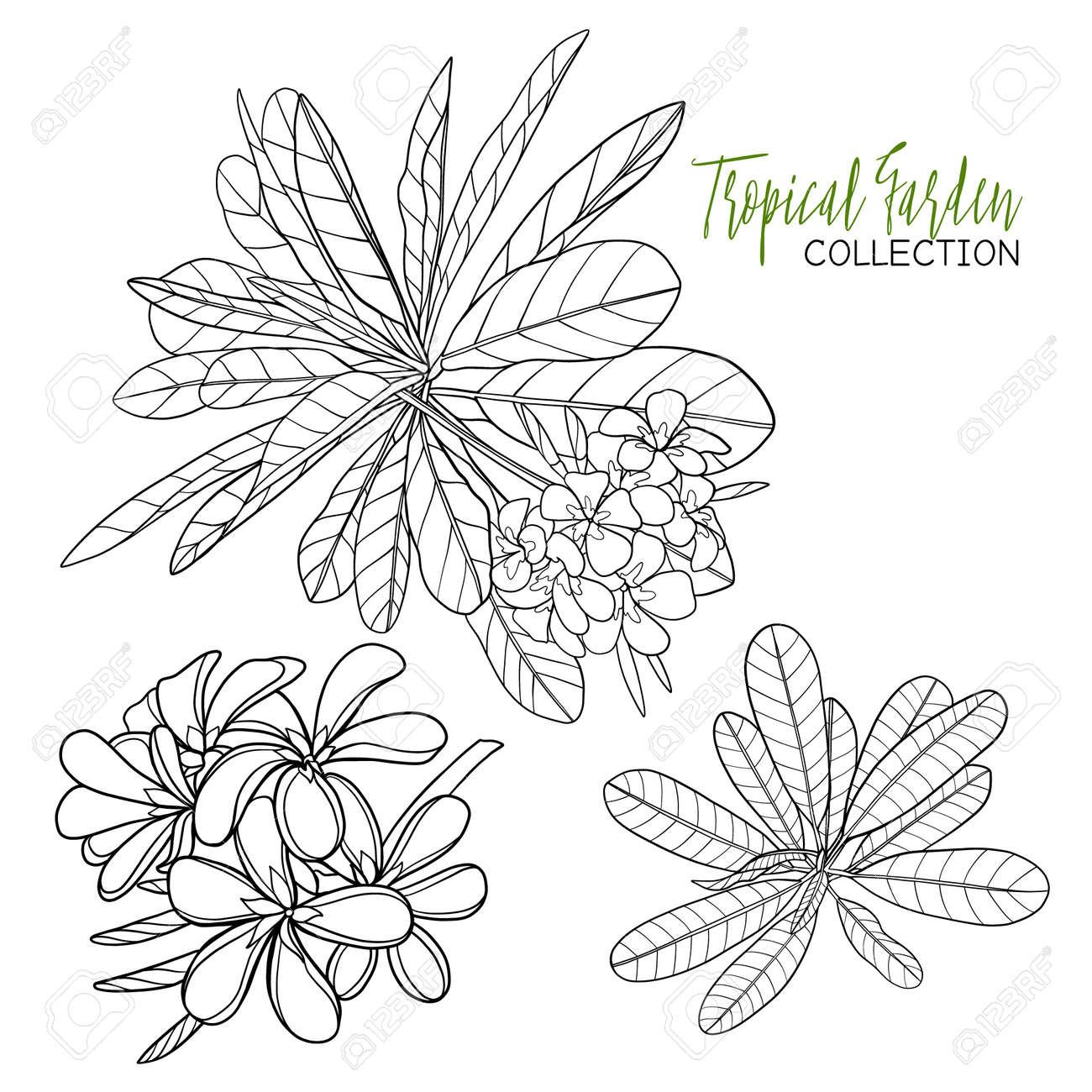 Plumeria Tropische Pflanze Vektor Illustration Malbuch Für