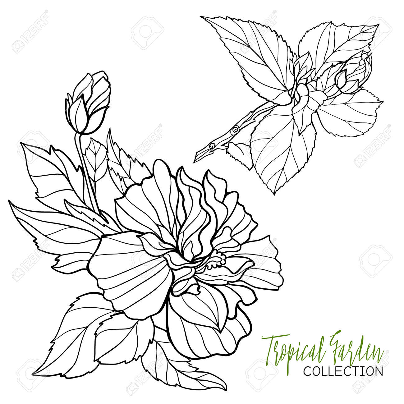 hibiscus tropical plant vector illustration coloring book