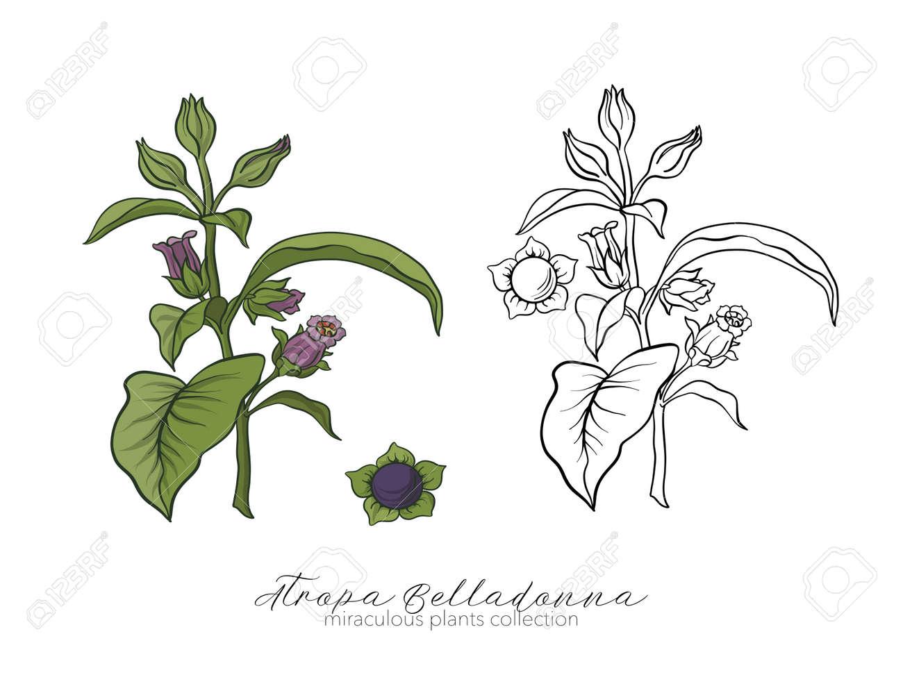 Belladonna Plant Set Colored And Outline Set Stock Vector Illus