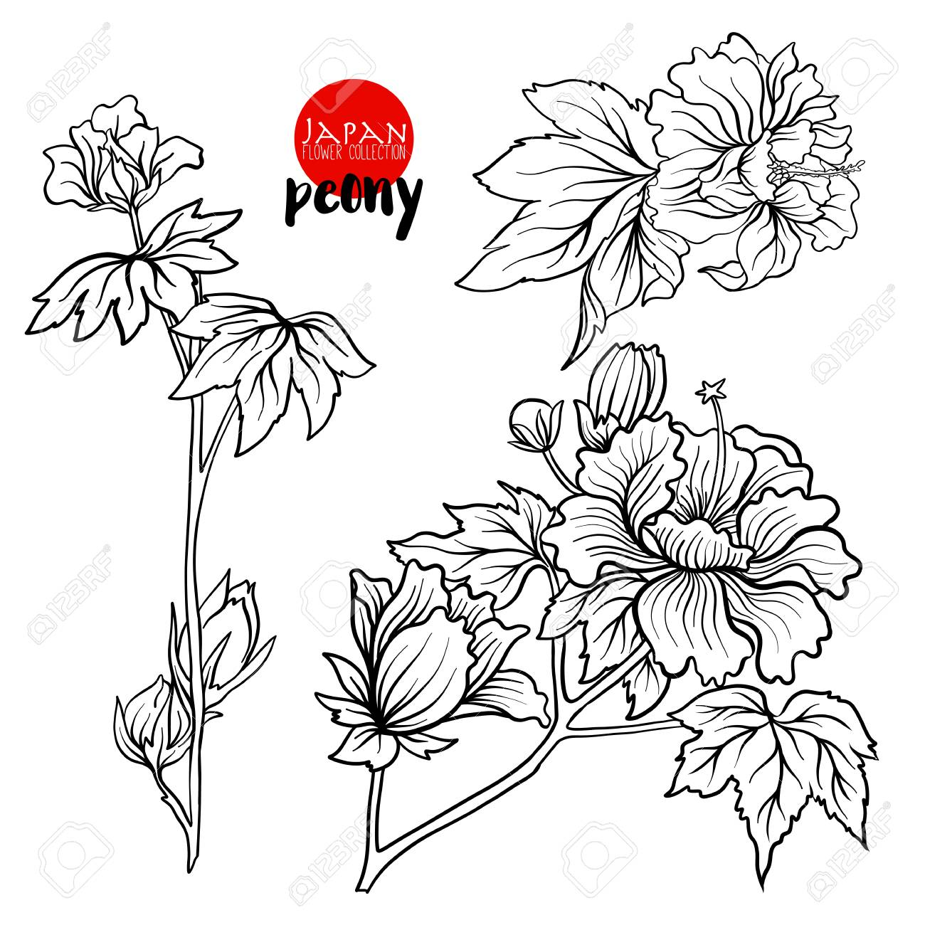 Peony flowers stock line vector illustration botanic flowers outline drawing stock vector