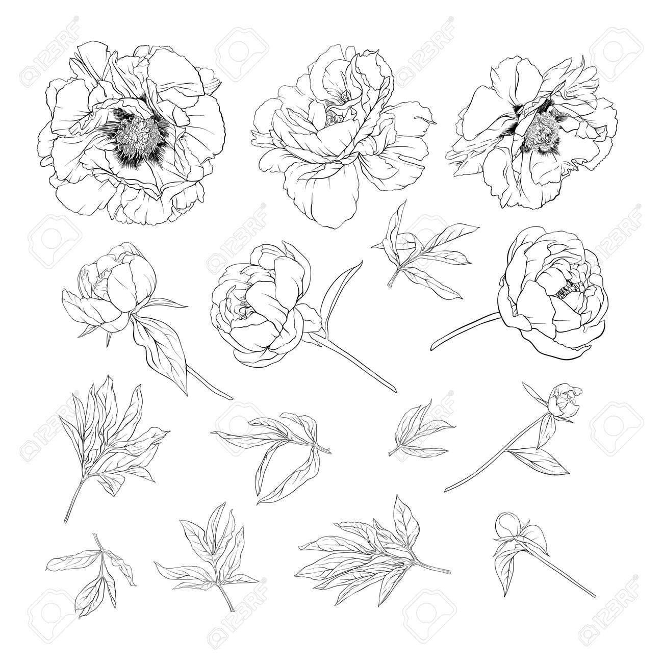 Peony flower. Element for design. Outline hand drawing vector illustration. In botanical style Isolated on white background.. - 133734619
