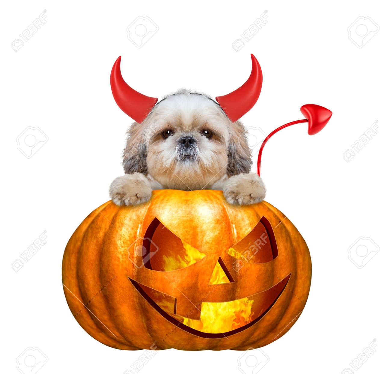 Halloween Kurbis Hexe Niedlich Shitzu Hund Isoliert Auf Weiss