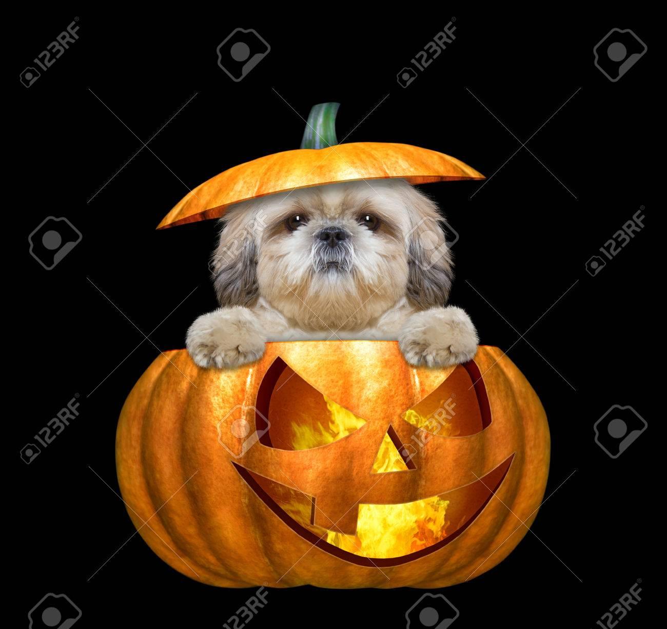 Halloween Kurbis Hexe Niedlichen Hund Isoliert Auf Schwarz