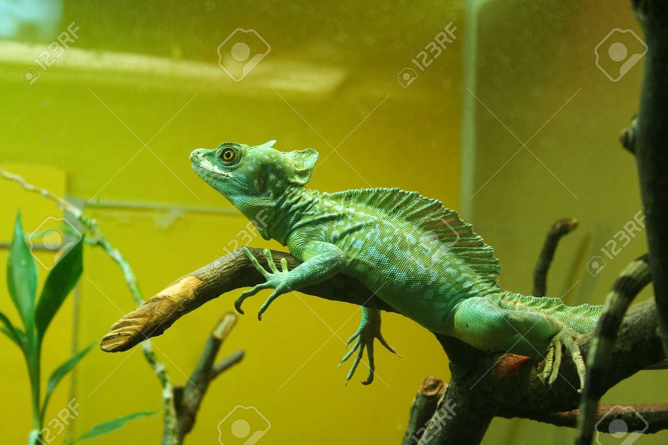 green chameleon on the branch in the terrarium stock photo