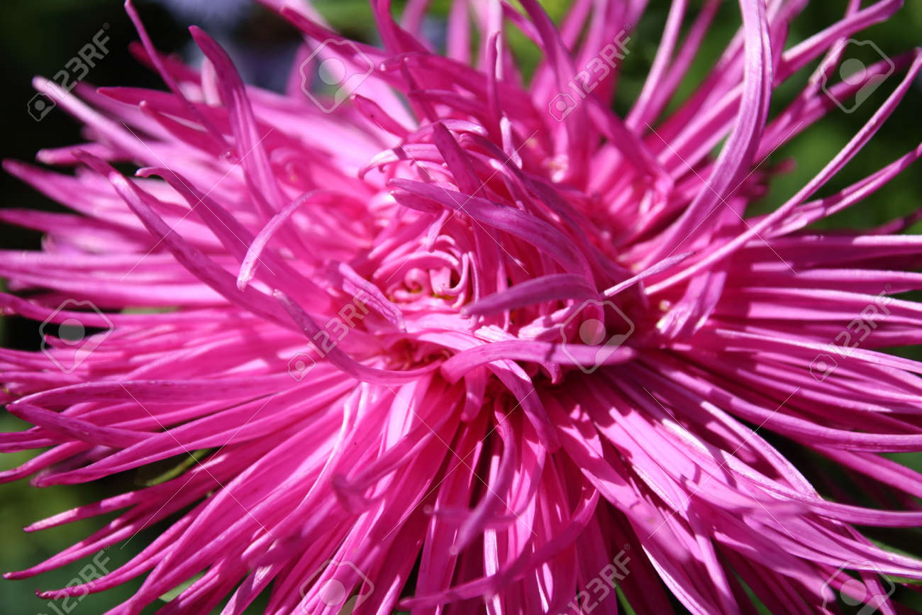 Pink Aster Autumn Flowers Over Green Background Stock Photo Picture