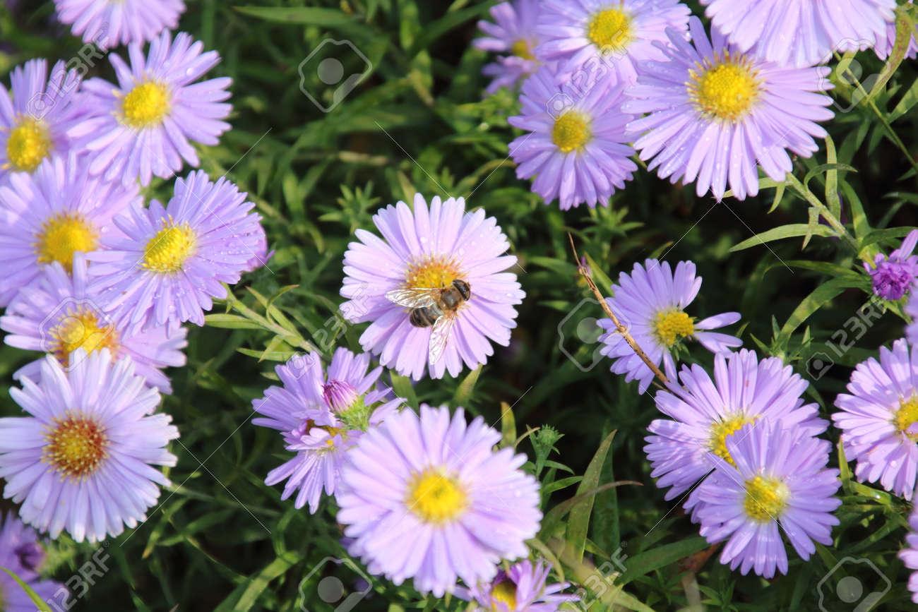Beautiful Flower Blue Aster In The Autumn Garden Stock Photo