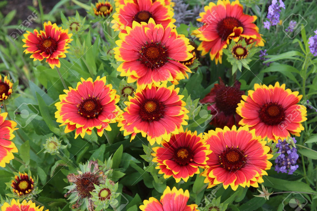 Perennial Gaillardia Is Popular Flower In The Summer Garden Stock