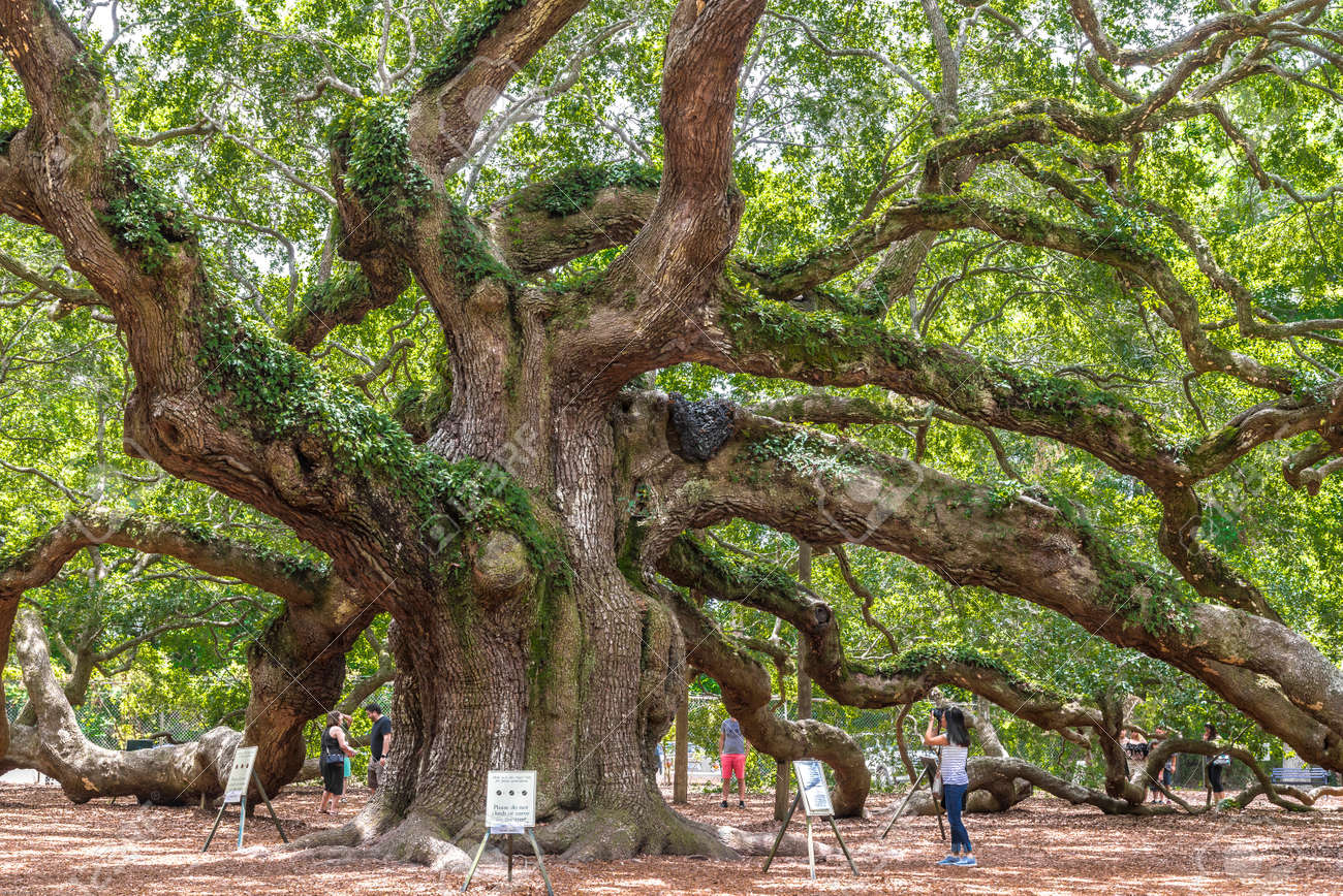 Angel Oak is a Southern live oak (Quercus virginiana) located