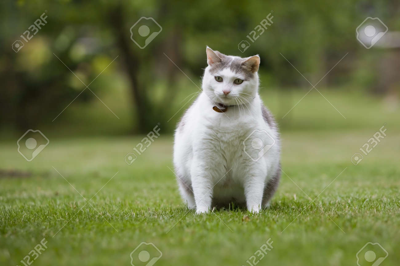 Cat Obese Stock Photo - 5290509