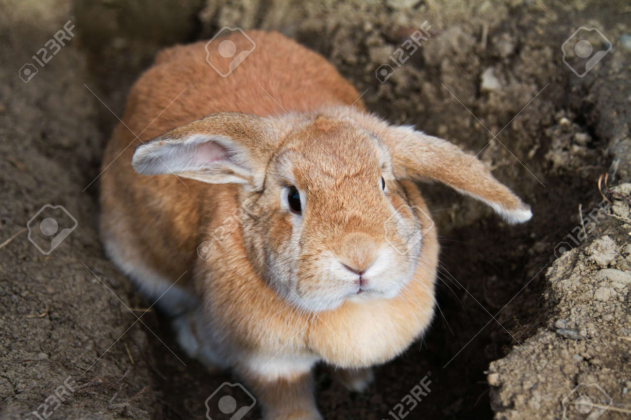 Cinnamon Brown Funny Bunny Rabbit With Floppy Ears Stock Photo