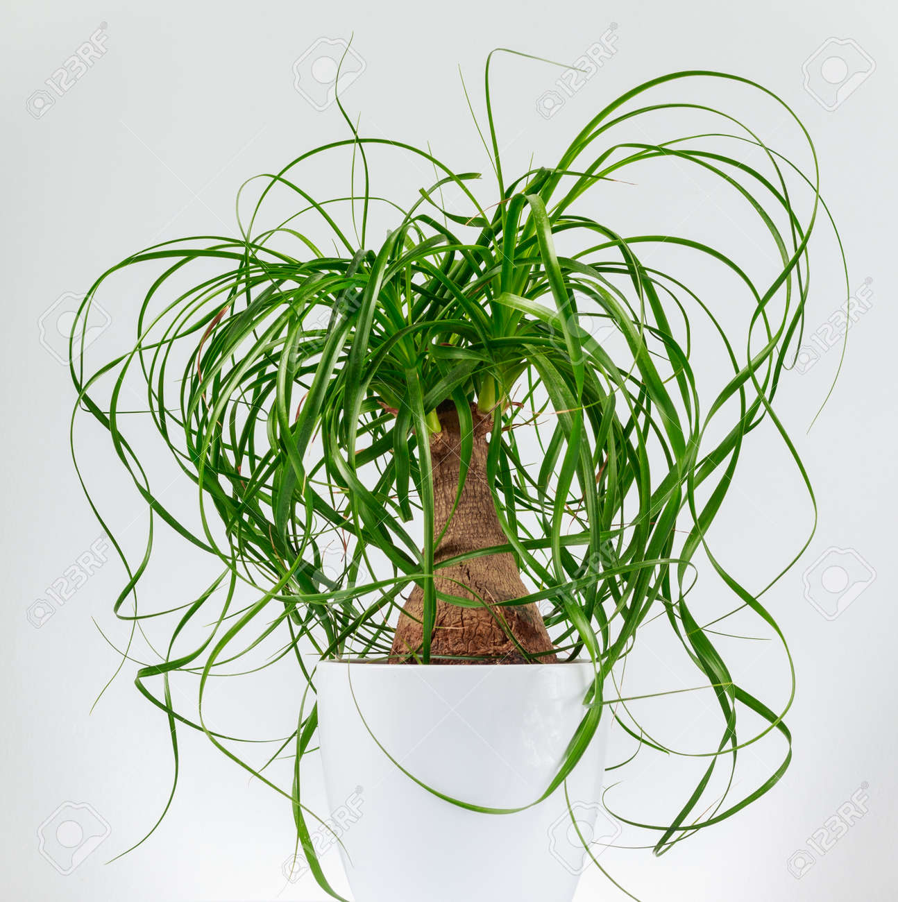 Isolated Close-up Image Of A Ponytail Palm Tree (Beaucarnea ... on indoor pony tail plant, corn house plant, indoor palms low light, wicker basket with silk areca palm plant, ponytail bonsai plant, elephant foot house plant,