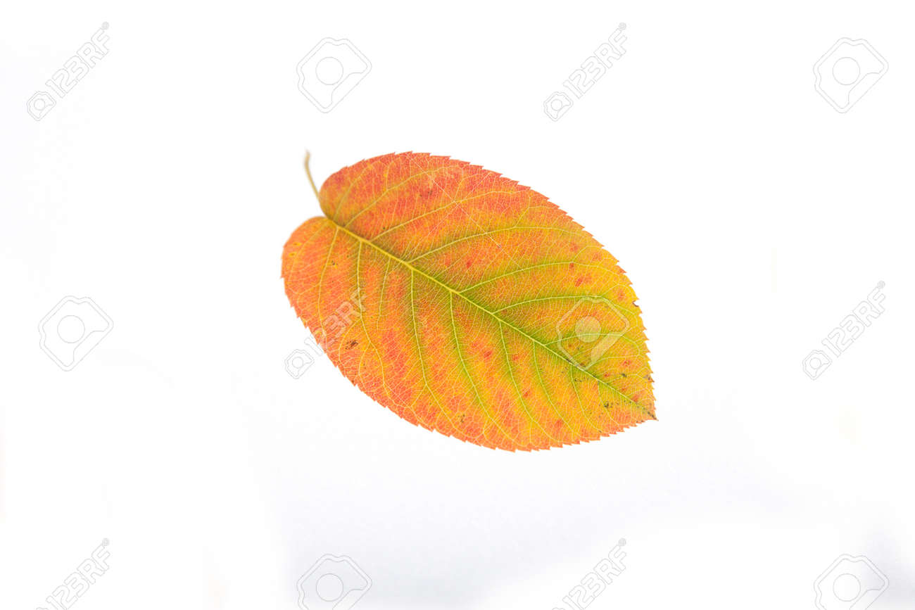 - Autumn Leaves In Red, Yellow, Colors. Cutout Stock Photo, Picture