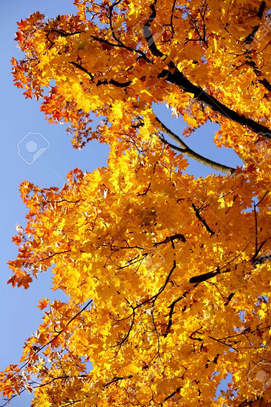 RBol De Arce Con Hojas Amarillas En Otoño. Hermoso Día Con Cielo ...