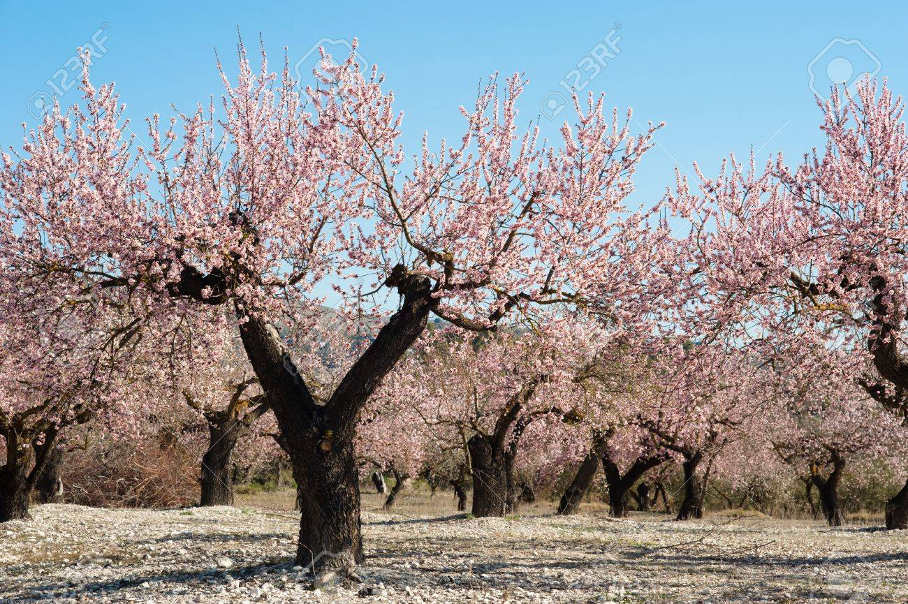 Almond Field During Almond Tree Blossom Stock Photo, Picture And Royalty  Free Image. Image 12680148.