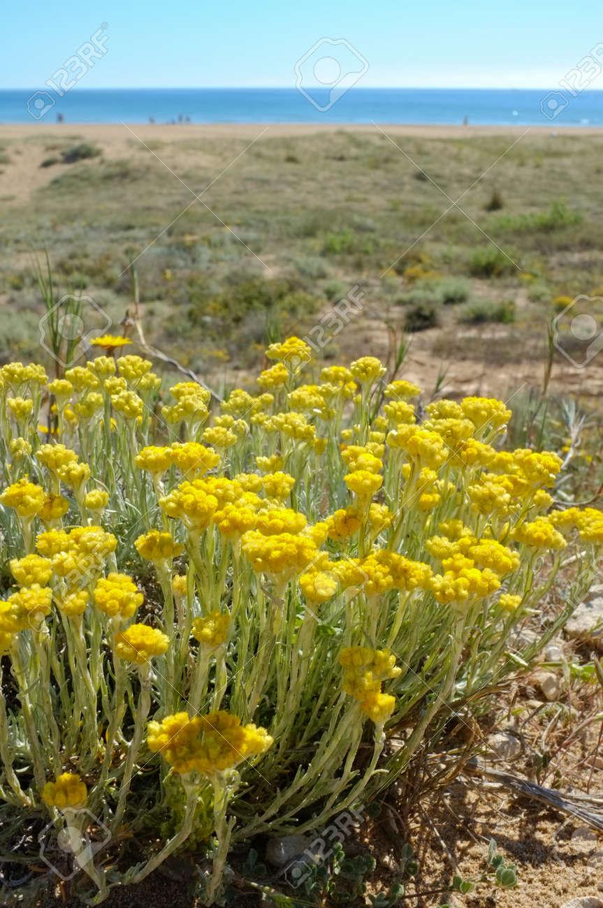 Flowering everlasting on a coastal dune Stock Photo - 13520305