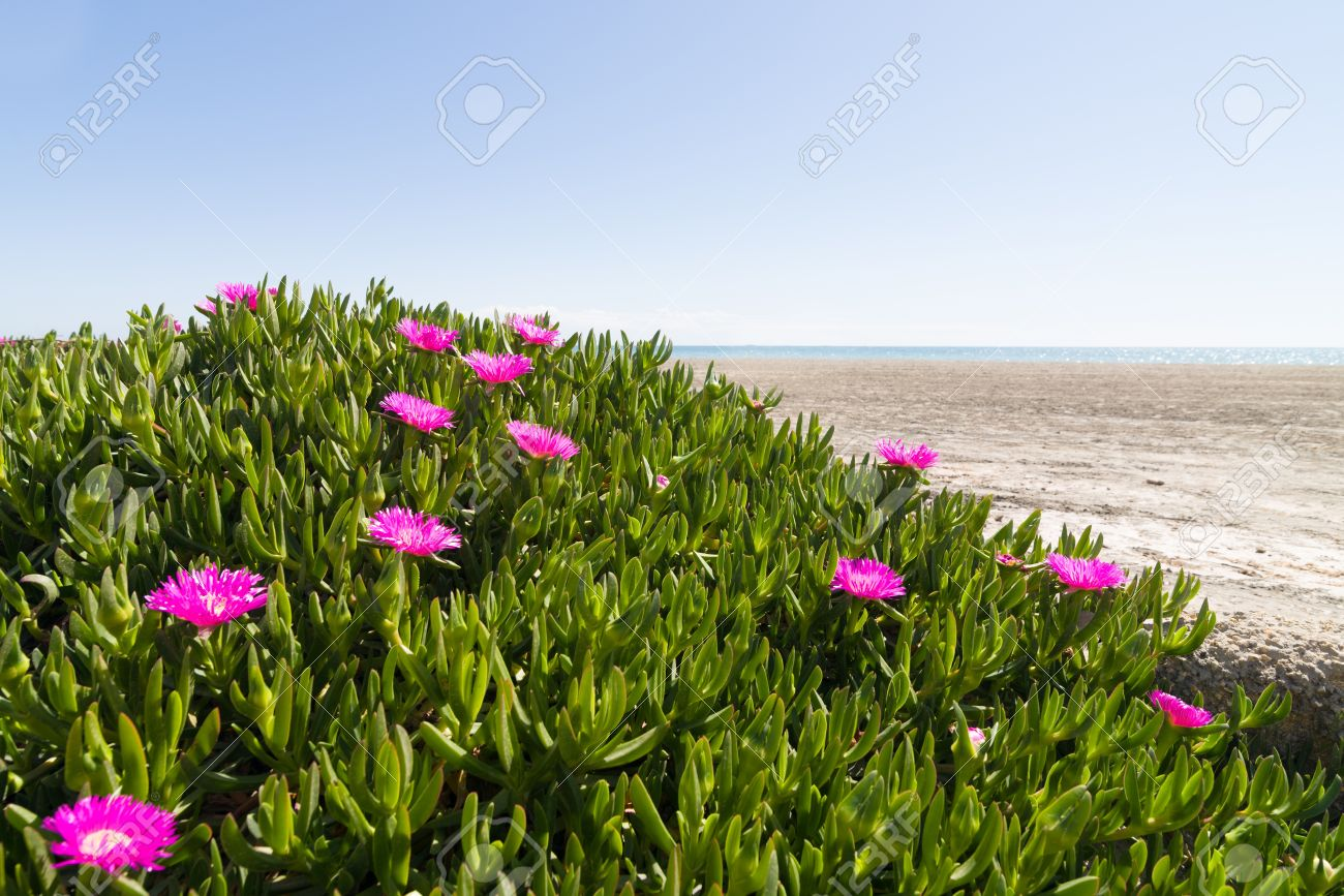 Pink flowering ice plant in a coastal area stock photo picture and pink flowering ice plant in a coastal area stock photo 18862610 mightylinksfo