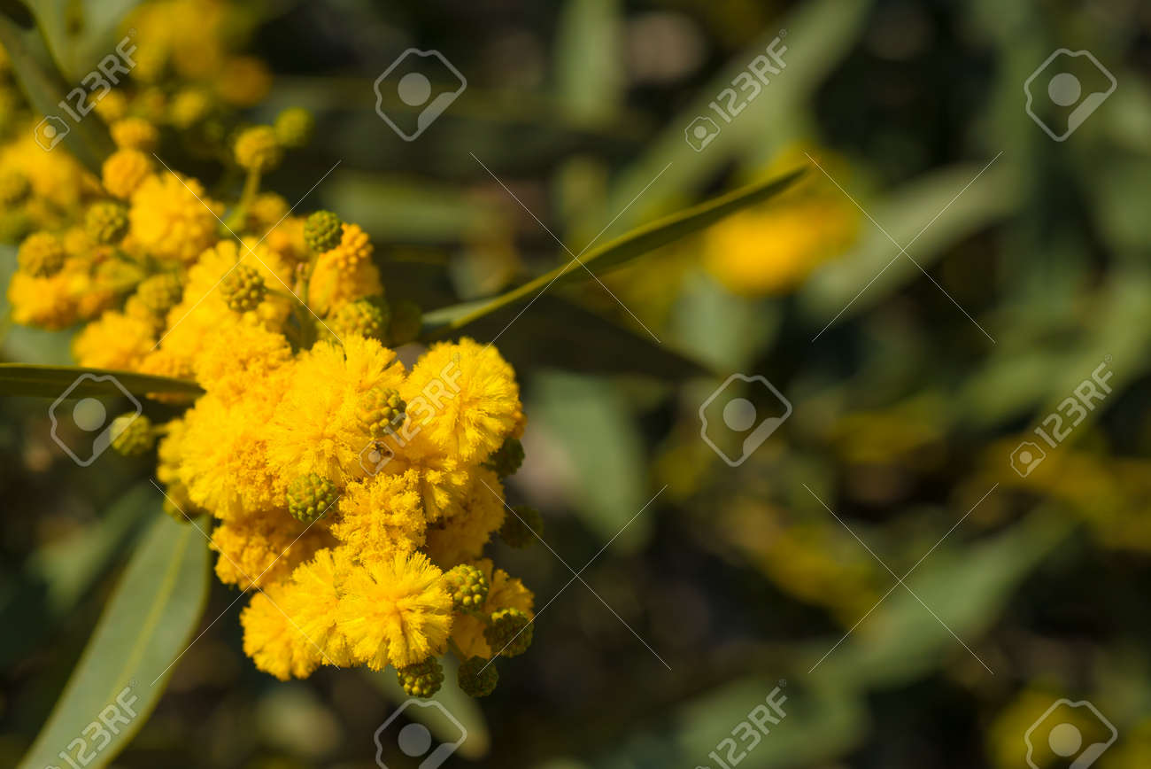 Flowering Acacia Branch In Beautiful Yellow Colors Stock Photo