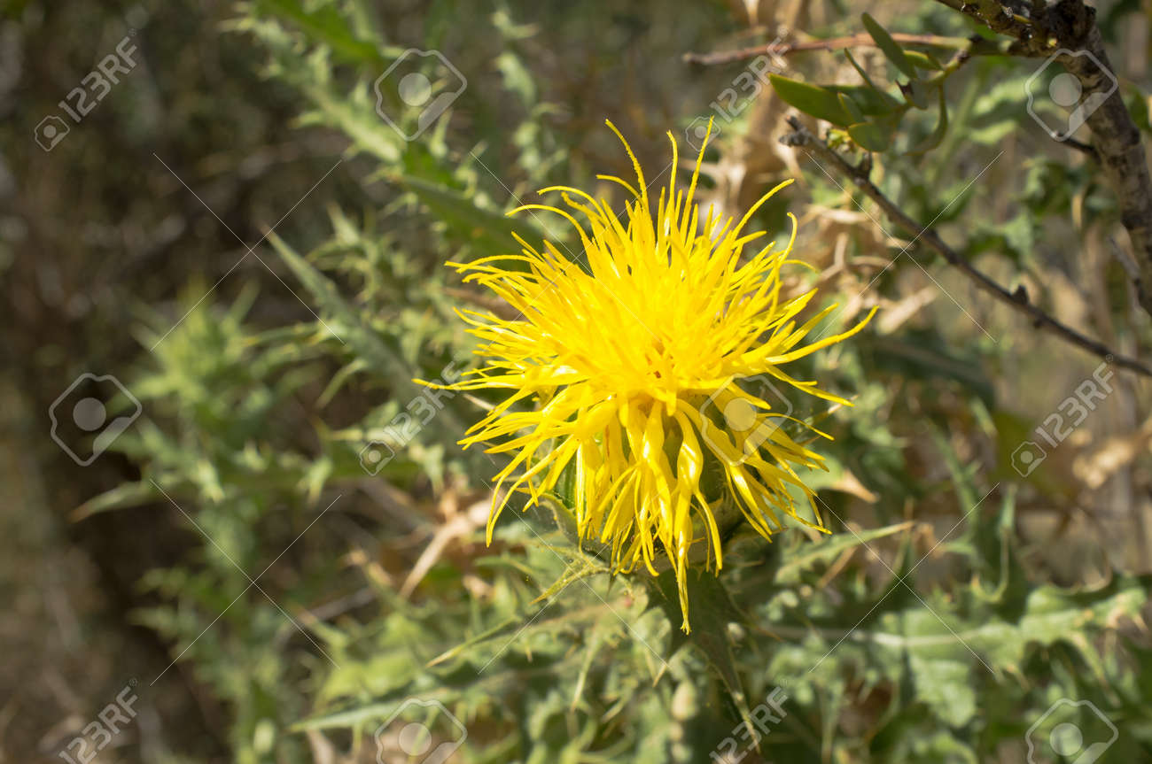 Yellow thistle flower of the centaurea family stock photo picture stock photo yellow thistle flower of the centaurea family mightylinksfo