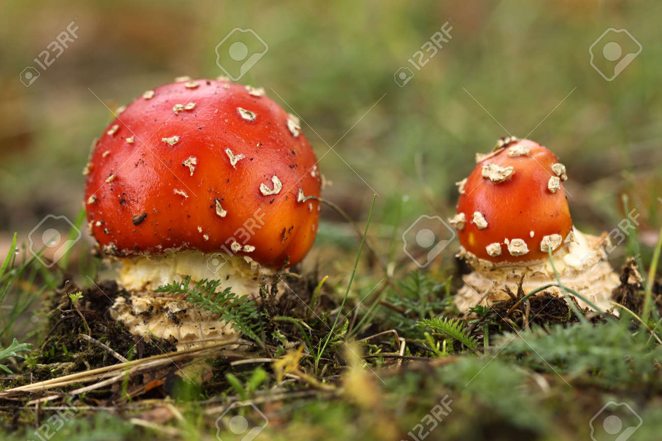 Two toadstools in the grass Stock Photo - 5728176