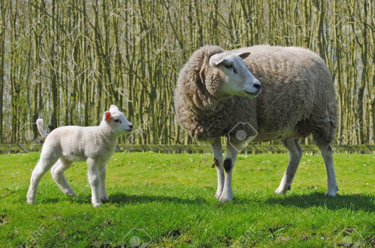 Mother sheep and her lamb in a meadow in The Netherlands Stock Photo - 15479187