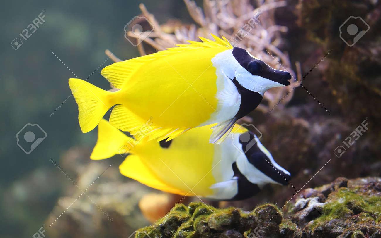 close up view of a foxface rabbitfish siganus vulpinus stock photo