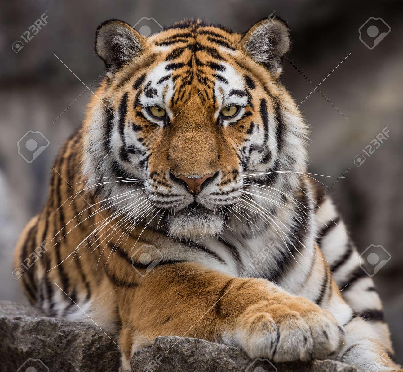 Close up view of a Siberian tiger - Panthera tigris altaica - 60011432