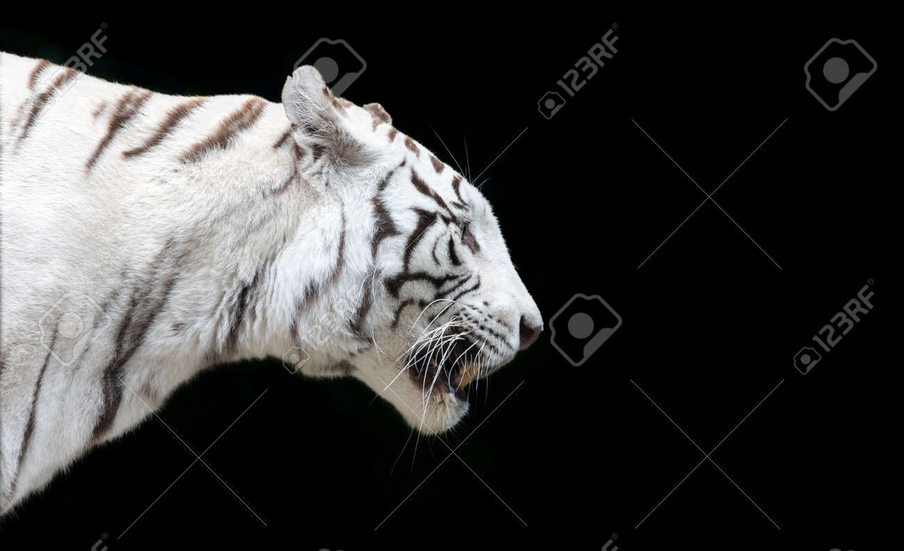 Side close up view of a white Bengal tiger (Panthera tigris tigris) - isolated on black background - 156243194