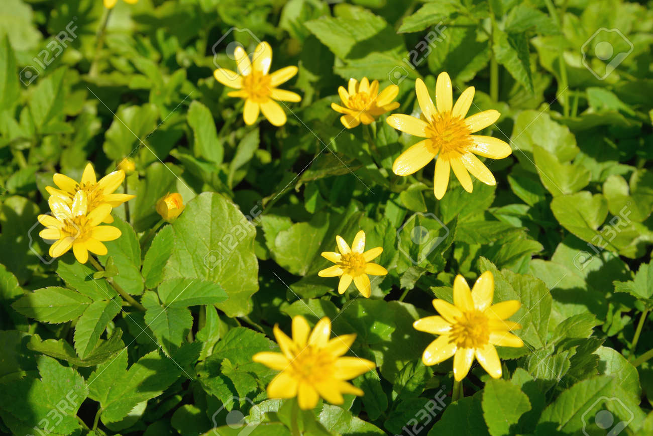 Yellow Flowers Spring Chistyakov Grow On The Lawn On A Sunny Stock