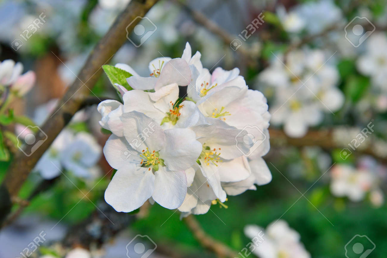 The Apple Tree Branch With White Flowers In Summer Stock Photo