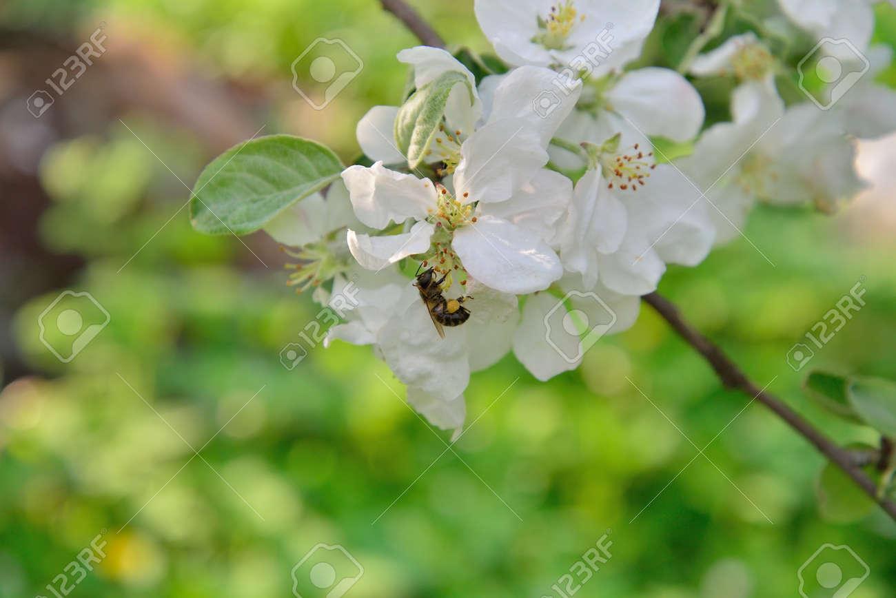 Albero Con Fiori Bianchi un'ape è seduto su un albero di melo ramo con fiori bianchi in estate