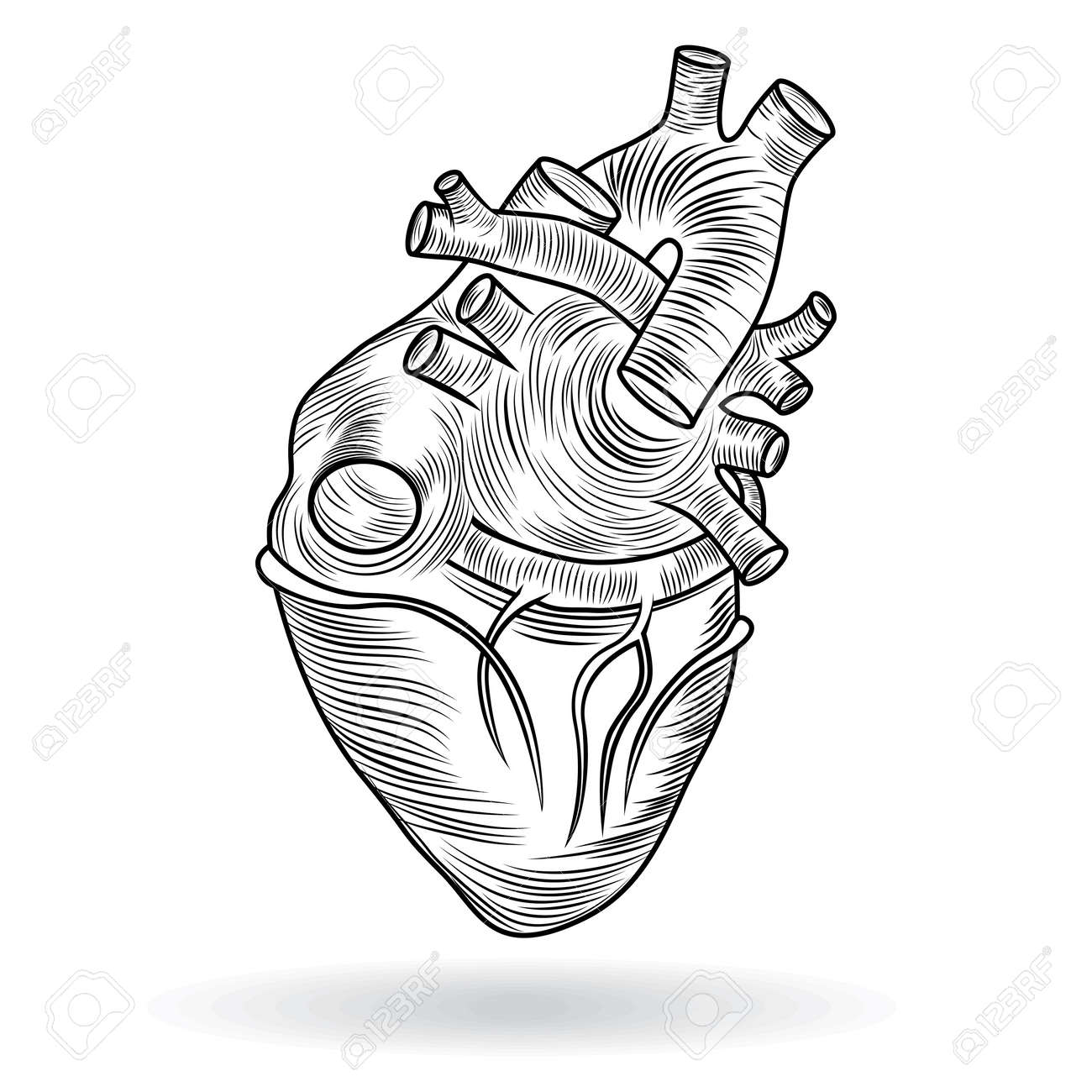 Heart Human Body Anatomy Sketch Isolated On White Background