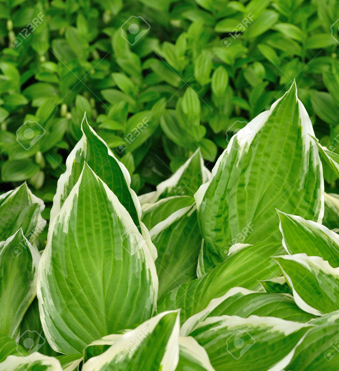 Variegated Hosta Leaves With White Edges Stock Photo Picture And