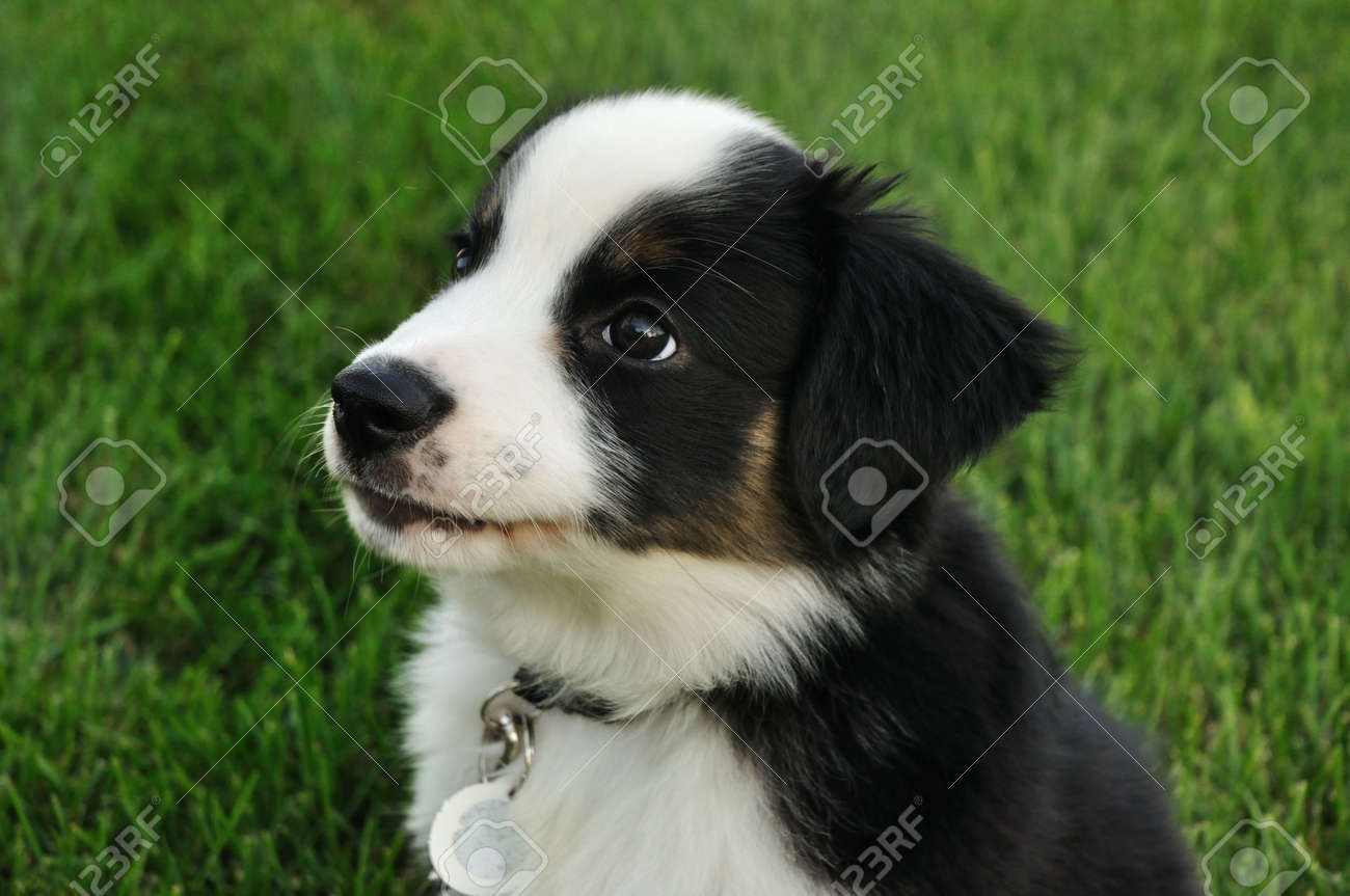 Tricolor Australian Shepherd Aussie Puppy Outside On Grass Stock Photo Picture And Royalty Free Image Image 7917809
