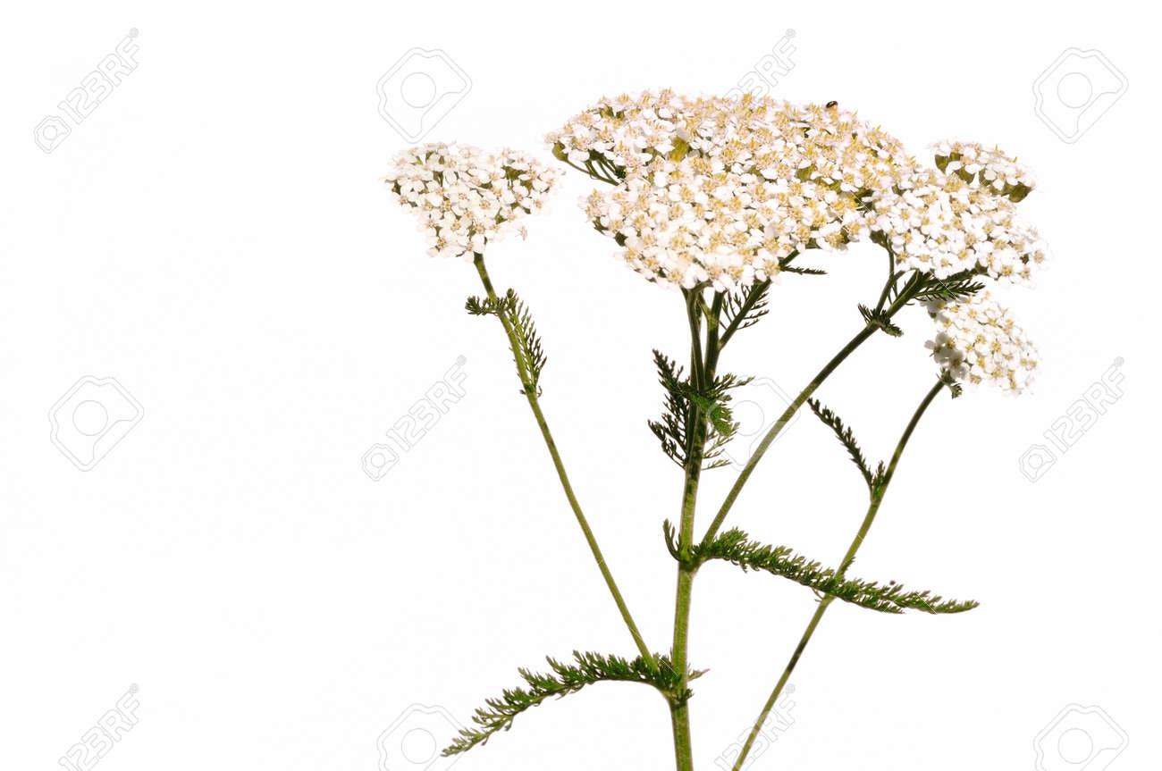 White Yarrow  Achillea...