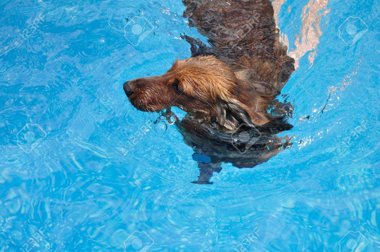 Red Long-Haired Dachshund Swimming In A Pool Stock Photo, Picture ...