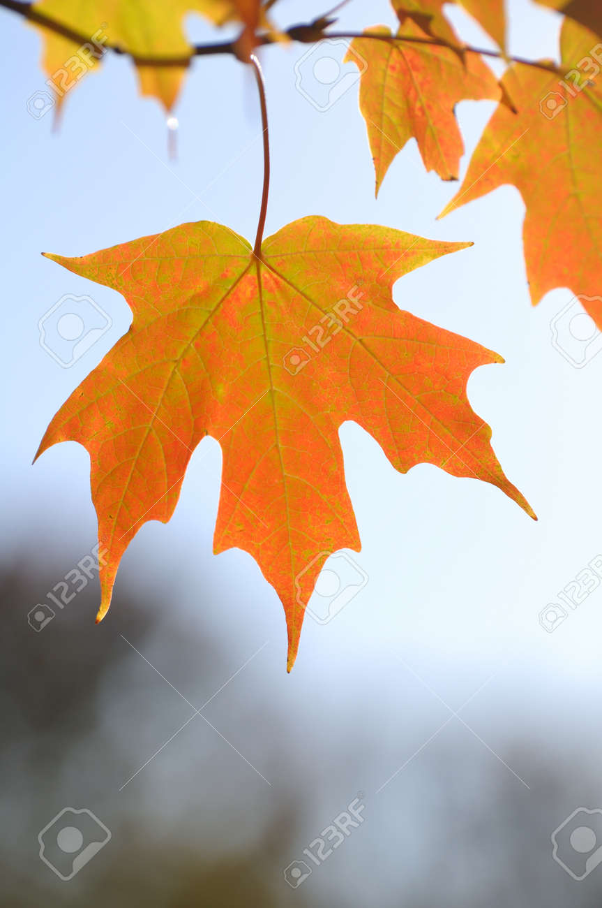 Backlit Colorful Maple Leaves in the Fall Against the Sky Stock Photo - 9612059