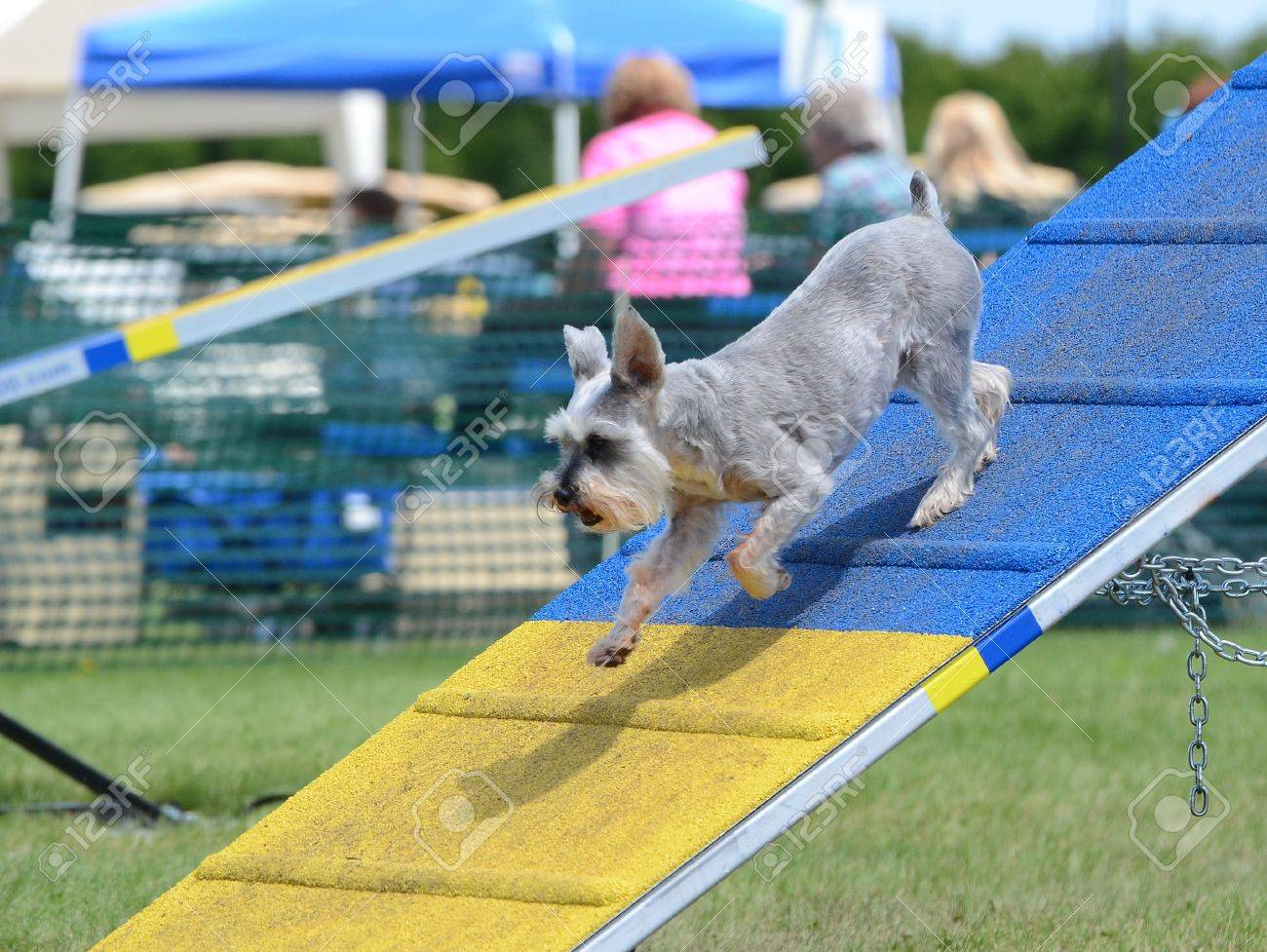 Miniature Schnauzer Jumping Off An A-Frame At Dog Agility Trial ...