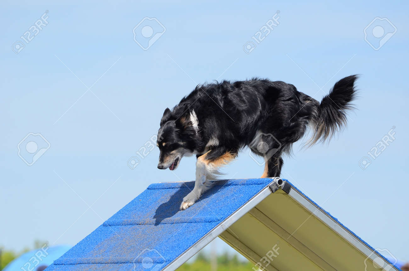 Mixed-Breed Dog Climbing An A-frame At Dog Agility Trial Stock Photo ...