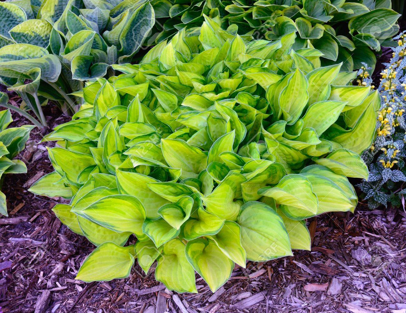 Green And Gold Variegated Hosta Hostas Are Perennial Plants Stock