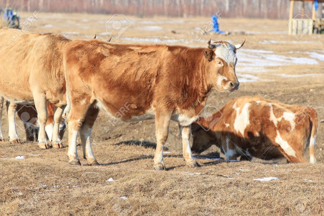 cow Stock Photo - 17562078